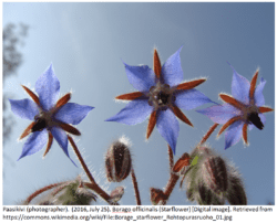 Borage officinalis Plant (starflower)