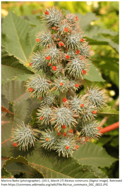 Ricinus communis known commonly as Castor Bean plant