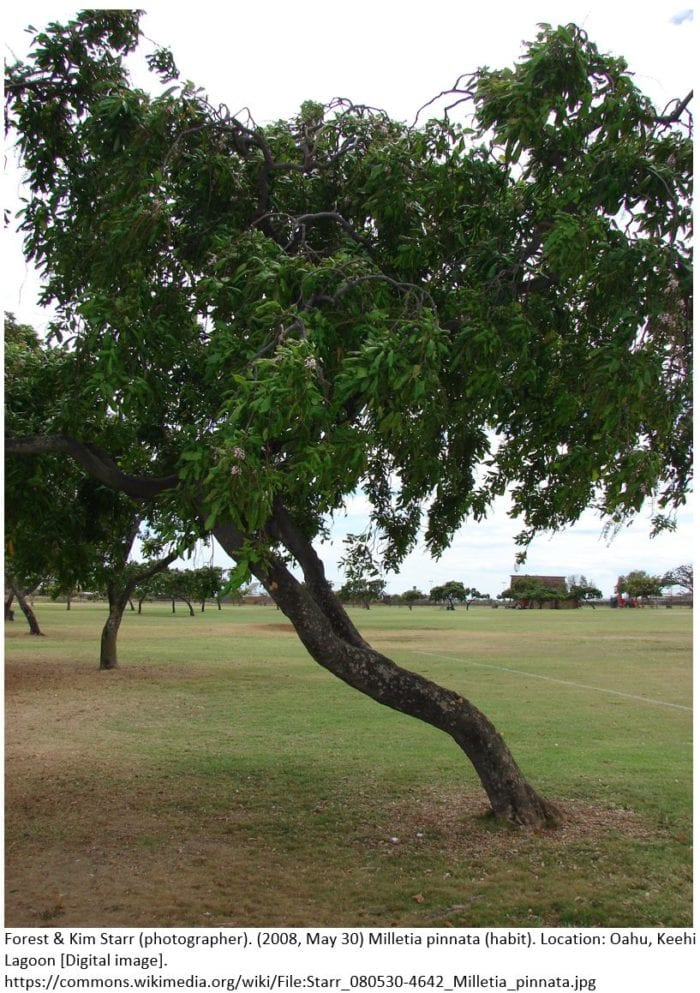 Karanja Tree source for Biodiesel